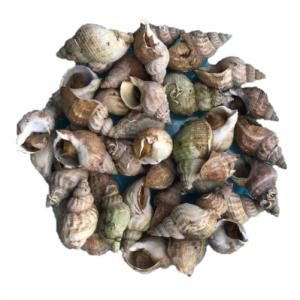 bulot-poisson-frais-sirenes_boulonnaises-boulogne-petits_bateaux-pêche