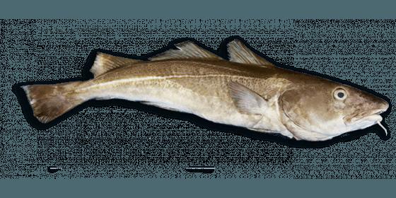 dos_cabillaud_sans_arête-fait-main-sirènes-boulogne-petits_bateaux-pêche-poisson_frais